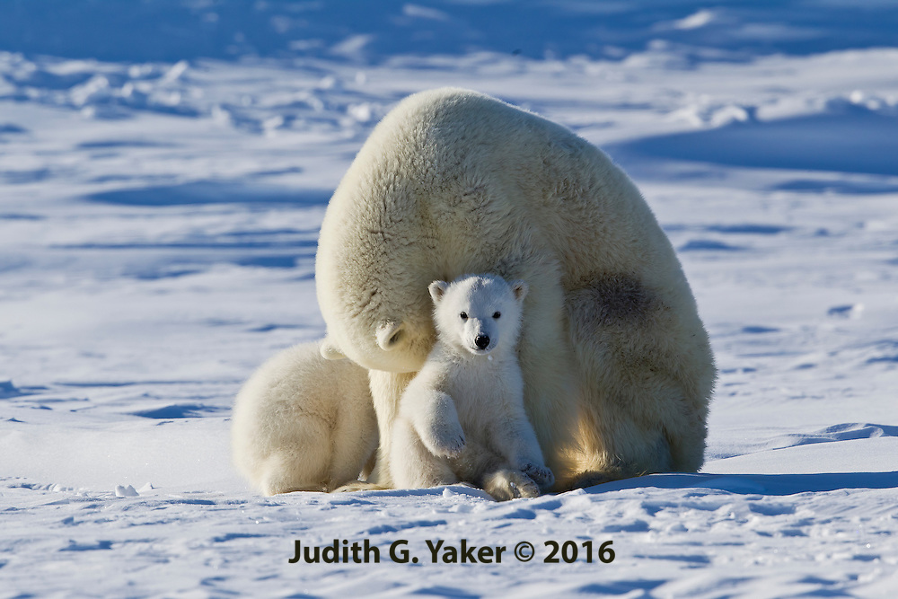 Polar Bear Mom and Babies