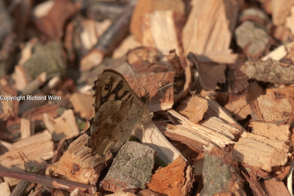A speckled wood butterfly resting on some wood shavings on a woodland path. The butterfly is camouflaged on this terrain, giving protection against predators.