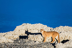 A female puma (Puma con color) also known as a mountain lion or cougar, standing in the sun on lakeside stromolite rock, Torres del Paine, Chile, South America