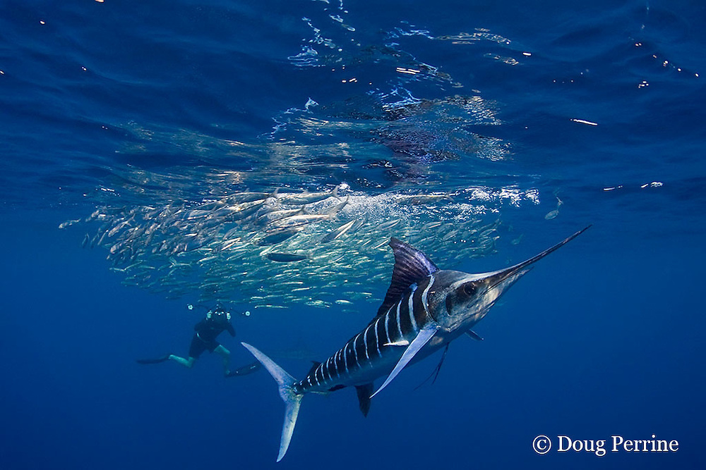 Marc Montocchio photographs striped marlin, Kajikia audax (formerly Tetrapturus audax ), feeding on baitball of sardines or pilchards, Sardinops sagax, off Baja California, Mexico ( Eastern Pacific Ocean ); MR 411