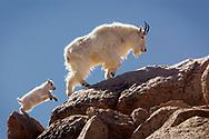 XNPJ105 13_0152  MOUNTAIN GOAT  (Oreamnos americana)  Mount Evans, Colorado