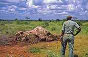 Elephant killed by poachers, Tsavo National Park, Kenya