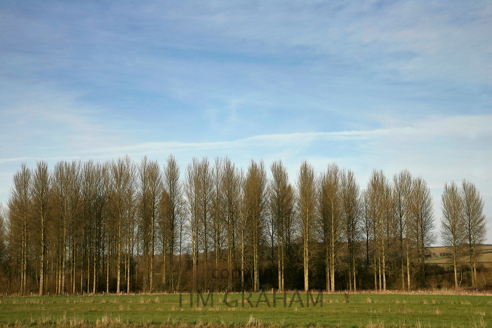 Row of Poplar trees, Sherbourne, The Cotswolds, Gloucestershire, United Kingdom