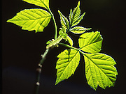 Box Elder leaf, PA forest, sunlight against shadow Spring, Pennsylvania