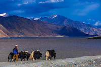 Men herding yaks at 83 mile long Pangong Lake is the highest salt water lake in the world. It sits at 14,000 feet. 30% of the lake is in India and 70% is in China (Tibet). Ladakh, Jammu and Kashmir State, India.