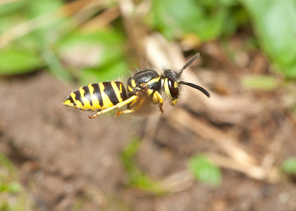Eastern Yellowjacket (Vespula maculifrons) in flight, returning to nest.