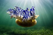Upside Down Jellyfish (Cassiopeia sp.)<br /> Jardines de la Reina National Park<br /> CUBA