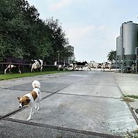 Nederland, Goudriaan , 10 september 2012..Duurzame landbouw van boer Jan Vonk en zijn duurzame boerderij getiteld de Verwondering.. .Een duurzame landbouw biedt voldoende voedsel voor de wereldbevolking, nu en in de toekomst. Dat betekent wel dat we andere voedingspatronen krijgen, met minder vlees en minder zuivel.. .Foto:Jean-Pierre Jans