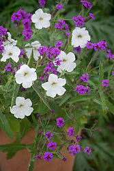 Pot with Verbena rigida syn. Verbena venosa and Petunia axillaris - Large White Petunia, Wild White Petunia.