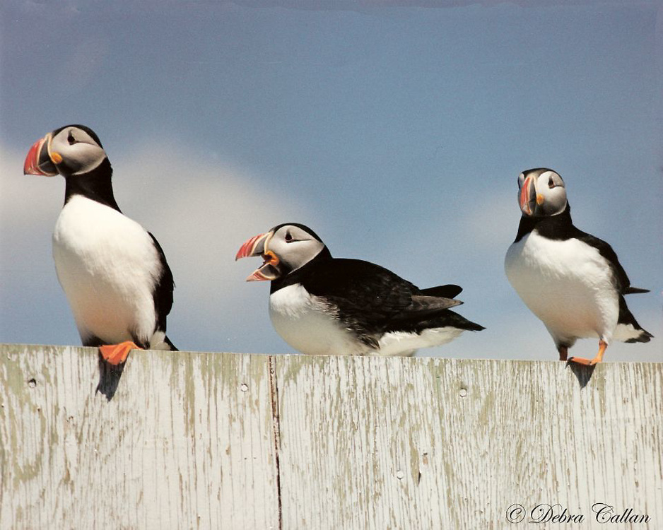 Atlantic Puffins on Machias Seal Island, Maine.