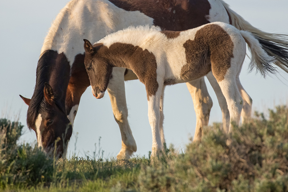 A young foal gazes adoringly at her mother as she grazes along a high ridge. Mares and foals are extremely devoted with foals staying by their mother's side during their first few months of life.
