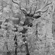 Bull Elk Forest View - Yellowstone National Park - Infrared Black & White