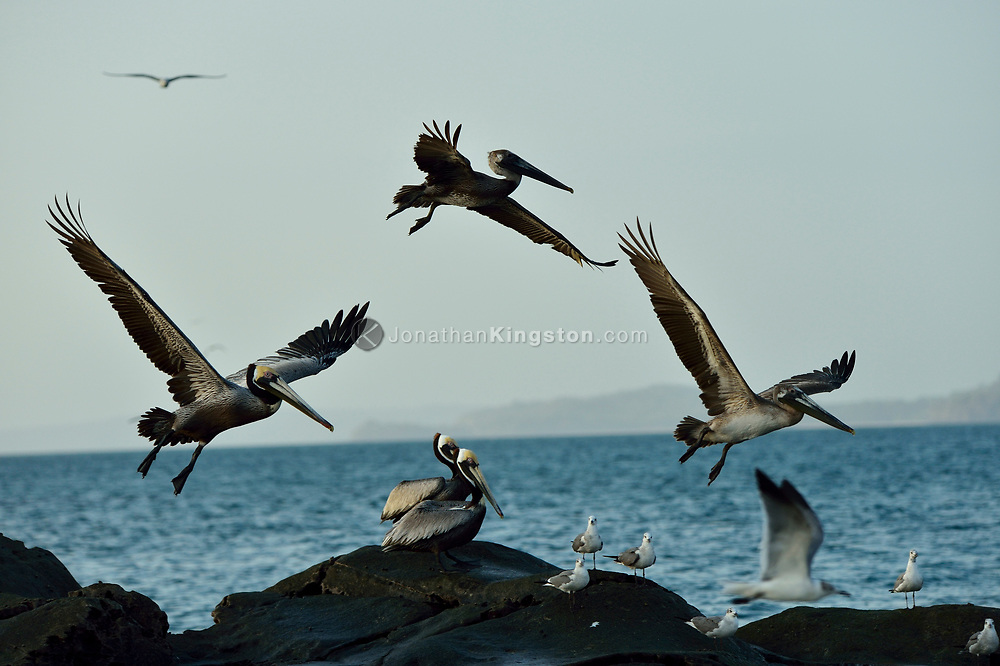Brown pelicans (Pelecanus occidentalis) and Royal Terns (Sterna maxima) take flight from Isla Bayoneta in the Pearl islands Archipelago, Panama.