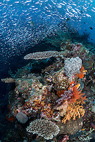 Sardines pack tightly together above a colorful reef slope<br /> <br /> Shot in Raja Ampat Marine Protected Area West Papua Province, Indonesia