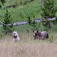 Face Off! Time's up, wolf. You're too close to MY food! Bear chases wolf a safe distance away from elk kill. Yellowstone National park, Wyoming.