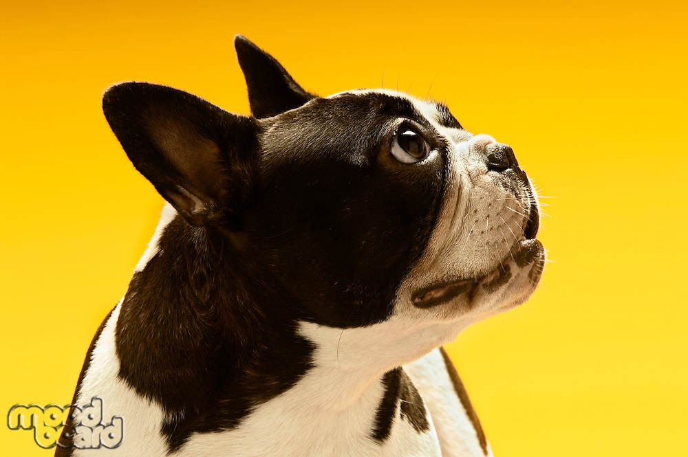 French Bulldog looking away on yellow background