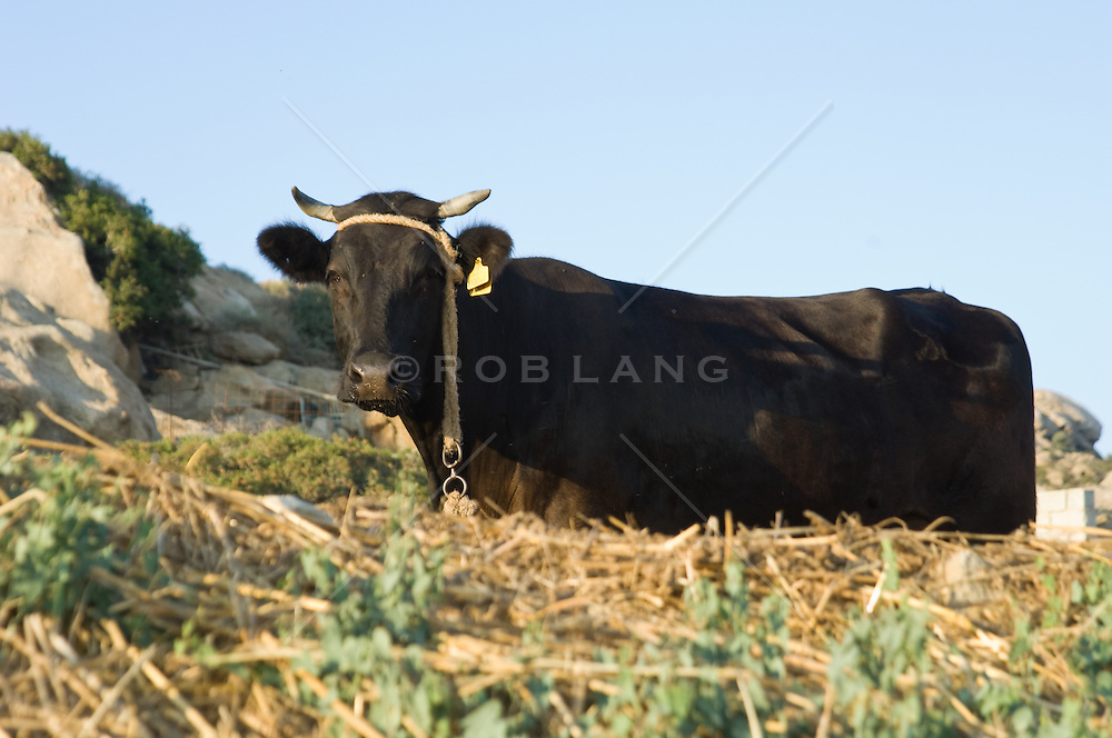 Black cow with a bell on head standing in tall grass in Greece