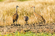 Sandhill Crane (Grus canadensis) parents watch for danger while the juvenile forages at Creamer's Field Migratory Waterfowl Refuge in Fairbanks in Interior Alaska. Summer. Afternoon.
