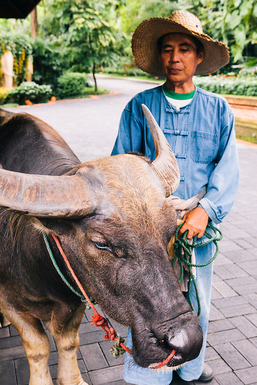 Water buffaloes at Four Seasons Resort, Chiang Mai