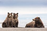 A proud mother of two lovely bearcubs,  Silver Salmon Creek, Lake Clark, Alaska | En stolt mor til to skjønne bjørnunger