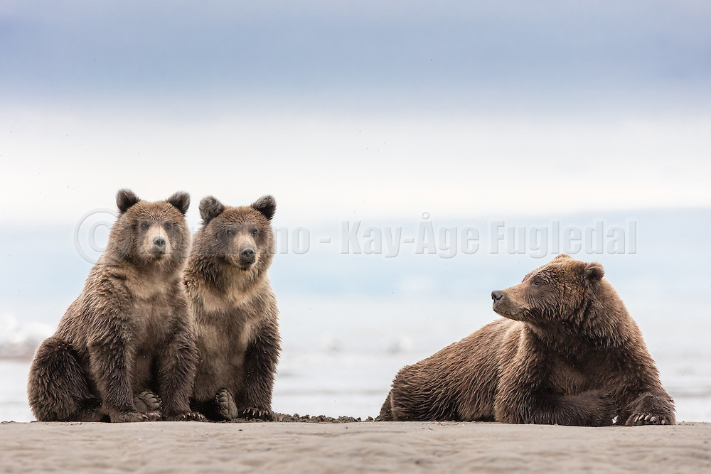 A proud mother of two lovely bearcubs,  Silver Salmon Creek, Lake Clark, Alaska | En stolt mor til to skjønne bjørnunger