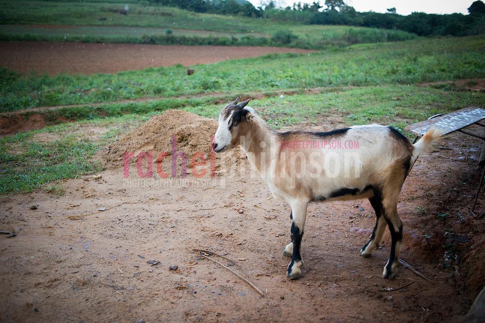 Cuba, Viñales, landscape, coffee farm, tobacco farm, goat, cabra