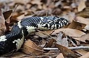 Eastern Kingsnake (Lampropeltis getula)<br /> CAPTIVE<br /> The Orianne Indigo Snake Preserve<br /> Telfair County, Georgia<br /> USA<br /> HABITAT & RANGE: Hardwood & pine forests, swamps, hammocks, tidal wetlands of Eastern USA north to New Jersey