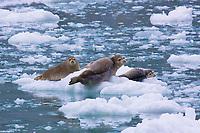 Three harbor seals in Alaska taking it easy.