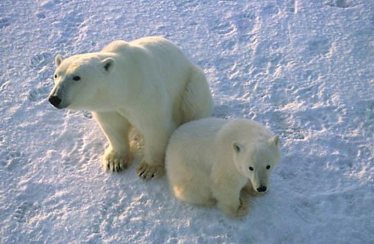 Polar Bear, (Ursus maritimus) Portrait of mother and cub waiting for Hudson Bay to freeze. Churchill, Manitoba. Canada.