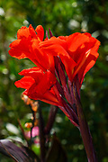 Red Canna (also Canna Lily) Photographed on Cephalonia, Ionian Islands, Greece in September