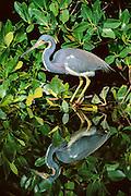Fishing Tricolored Heron Reflection