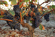 Grapes ready for harvest near Autol, La Rioja Region, Spain.