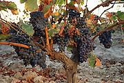 Grapes ready for harvest near Autol, La Rioja Region, Spain.