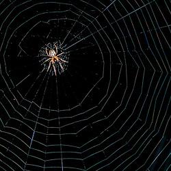 """""""Aranha (Aracnídeo) fotografado em Linhares, Espírito Santo -  Sudeste do Brasil. Bioma Mata Atlântica. Registro feito em 2016.<br /> <br /> <br /> <br /> ENGLISH: Spider photographed  in Linhares, Espírito Santo - Southeast of Brazil. Atlantic Forest Biome. Picture made in 2016."""""""