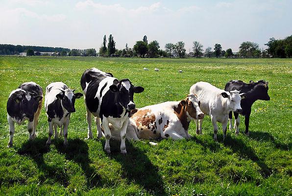Nederland, Nieuwerkerk, 8-5-2008..Koeien staan in een weiland in de polder bij Nieuwerkerk aan den IJssel...Foto: Flip Franssen/Hollandse Hoogte