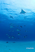 schooling spotted eagle rays, Aetobatus narinari, at Eagle Ray City, Saipan, Commonwealth of Northern Mariana Islands, Micronesia ( Western Pacific Ocean )