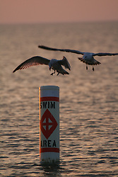 Seagulls competing for a perch on a swimming buoy