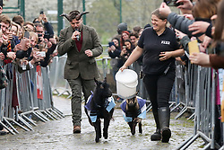 © Licensed to London News Pictures. 07/04/2019. London, UK. Goats compete during the Oxford and Cambridge Goat Race at Spitalfields City Farm, Bethnal Green in East London. The annual fundraising event, which takes place at the same time as the Oxford and Cambridge boat race, where two goats, one named 'Oxford', the other 'Cambridge' to be crowned King Billy. Photo credit: Dinendra Haria/LNP