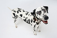 Dalmatian standing looking up mouth open elevated view