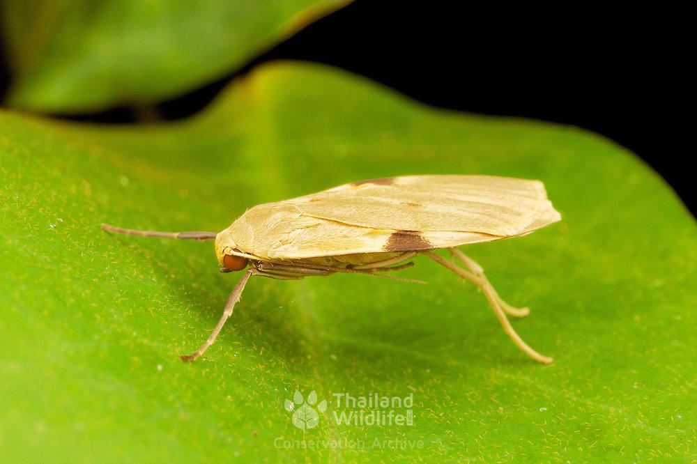 Macotasa sp.moth. Khao Yai National Park, Thailand.