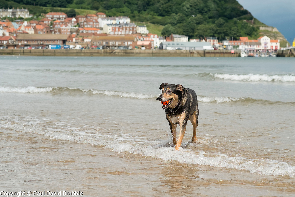 A mixed breed dog carrying a small orange ball in his mouth paddling in the sea with Scarborough harbour in the background  Yorkshire Coast England<br /> 11 July 2016<br />  Copyright Paul David Drabble<br />  www.pauldaviddrabble.photoshelter.comom