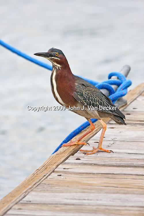 Little Green Heron standing on a pier