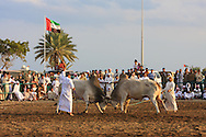 Bull butting is an ancient sport brought to the Arabian peninsula by the Portugese. Today it is a bloodless sport testing the raw strength of the bulls.
