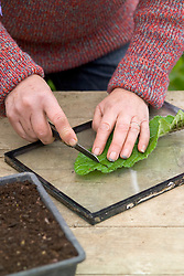 Taking leaf cuttings from streptocarpus using the Midrib Cuttings method.<br /> Slicing into sections using a sharp knife on a glass plate