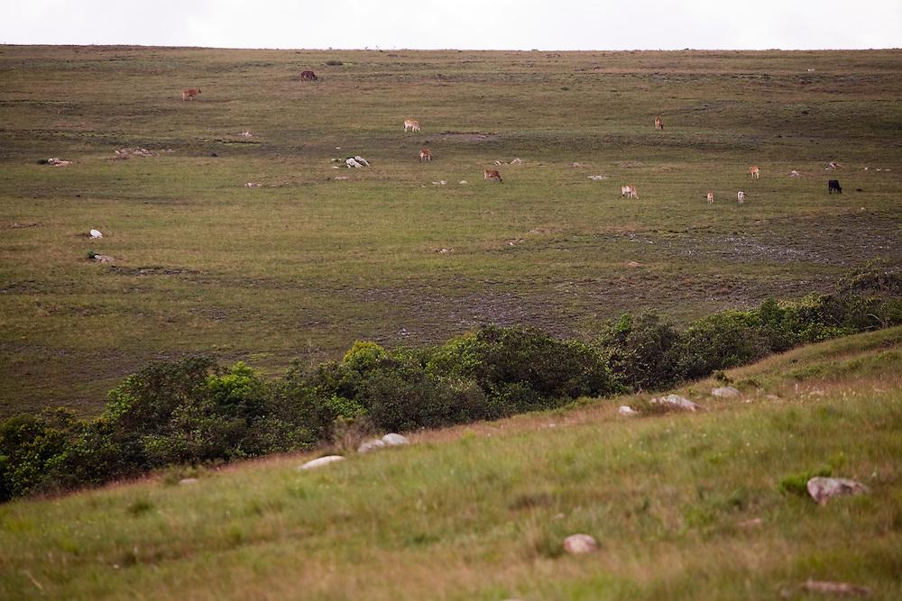 Santana do Riacho_MG, Brasil...Gado pastando em Santana do Riacho, Minas Gerais...The catle grazing in Santana do Riacho, Minas Gerais...Foto: LEO DRUMOND / NITRO