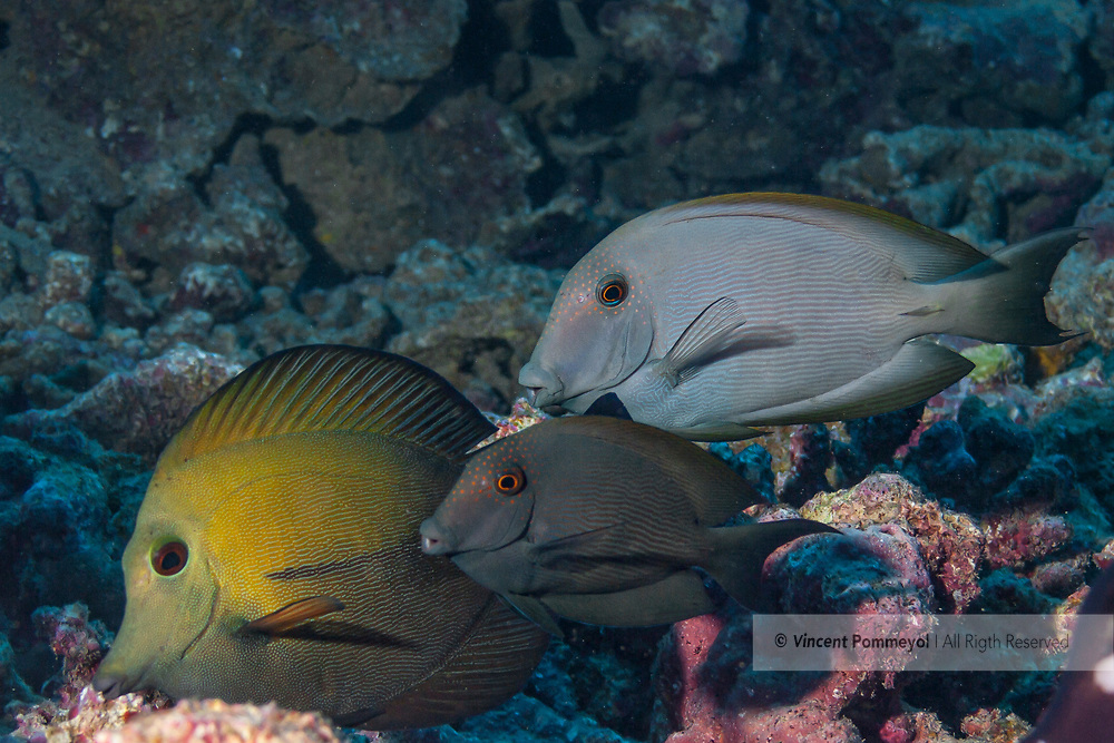 Surgeonfishes-poissons chirurgiens (Acanthuridae), Moorea island, French Polynesia.