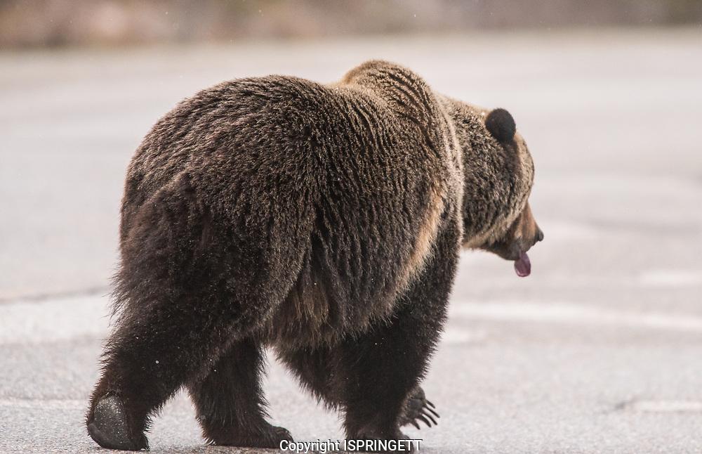 Grizzly Bear (Ursus arctos) Male #126., Alberta, Canada, Isobel Springett