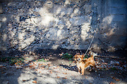 A chained dog close by The monastery of the Holy Fathers in Azogires, a mountain village located close to Palaiochora which is a small town in Chania regional unit on the island of Crete, Greece.
