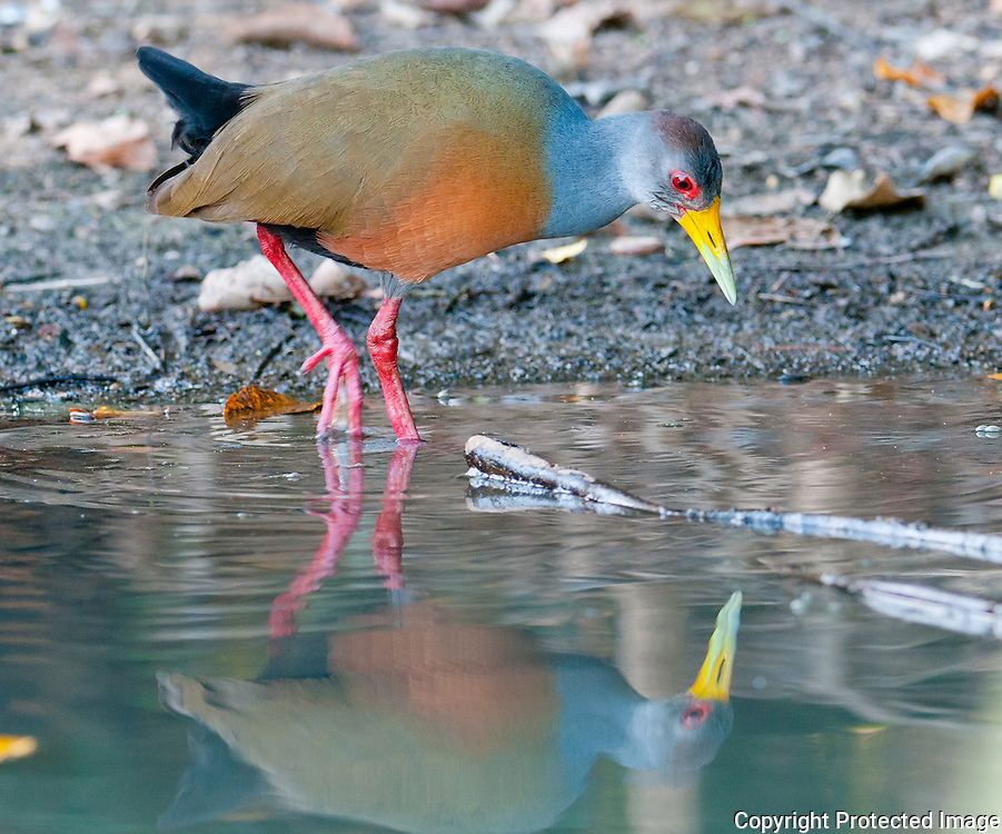 Gray necked wood rail along the Pixiam river in the Pantanal, Brazil