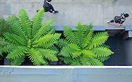 Dicksonia antarctica in front garden